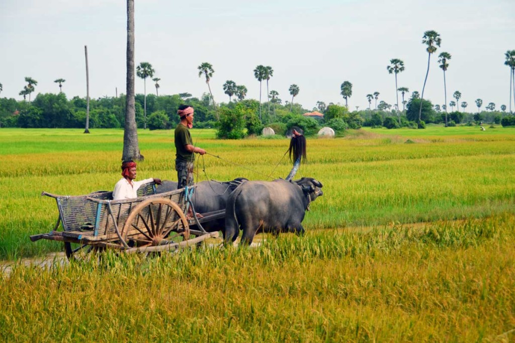 countryside-ricefields